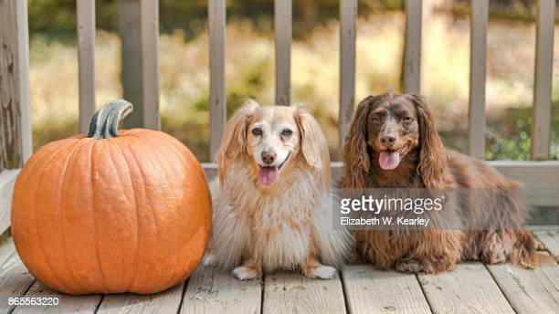 two dogs and a pumpkin - charlotte long stock pictures, royalty-free photos & images
