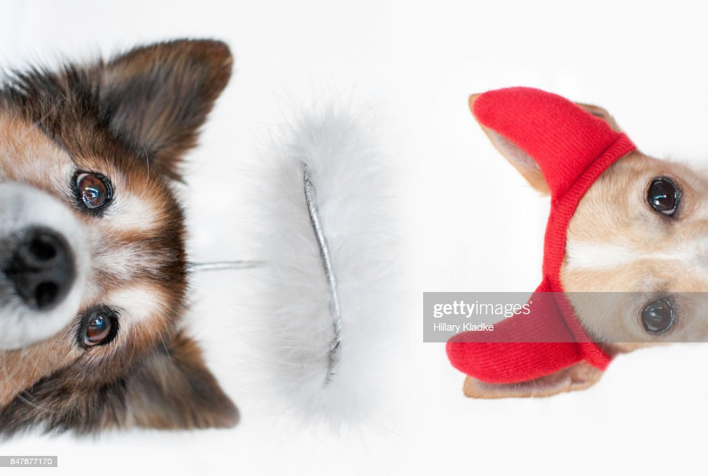 Two dogs, angel and devil : Stock Photo