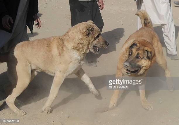 Two dogs are separated by their owners after the end to one of the rounds of the dog fights during a dogfighting session in Kabul on December 17 2010...
