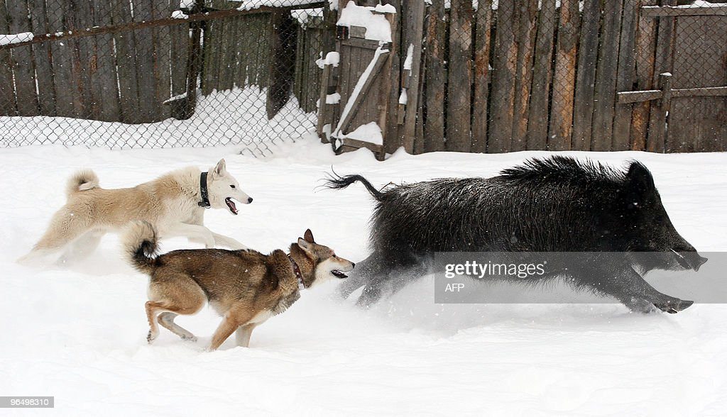 Two dogs attack a wild boar at a kennel for breeding and