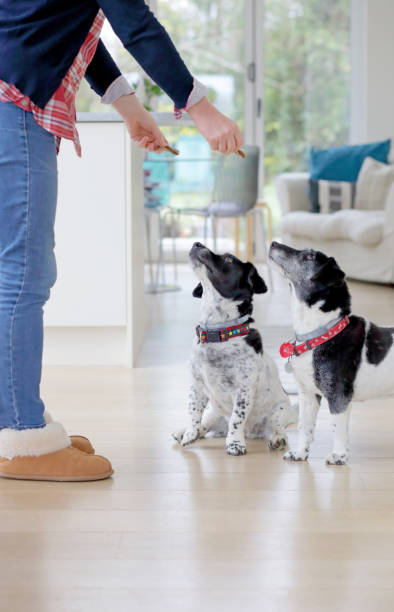 two dogs being given treats - giving dog a treat stock pictures, royalty-free photos & images