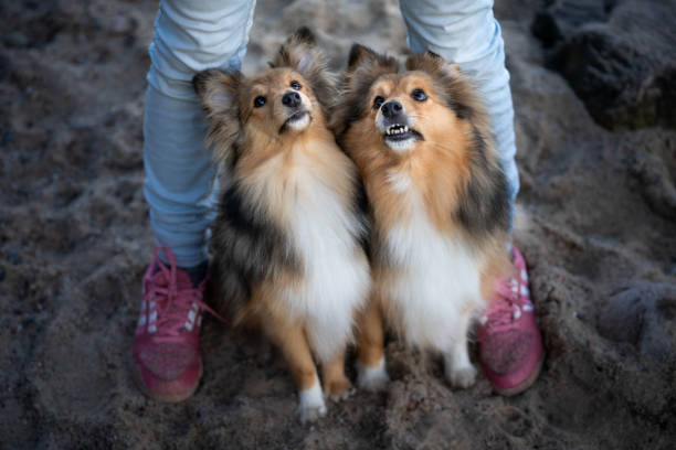 Two dogs between the owner's legs