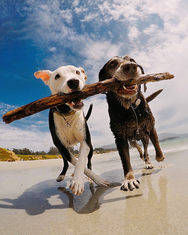 Two dogs carrying a stick on the beach, Carmel-by-the-Sea, California, America, USA - gettyimageskorea
