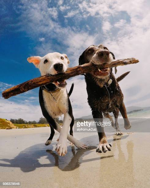 Two dogs carrying a stick on the beach, Carmel-by-the-Sea, California, America, USA