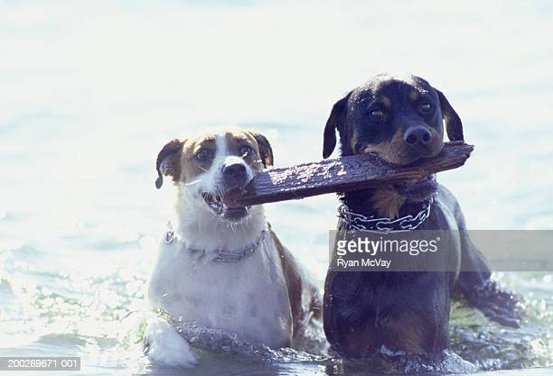 Two dogs carrying one stick in water