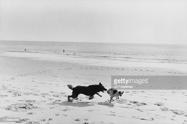Two dogs chasing each other along a beach in the south of France 1982