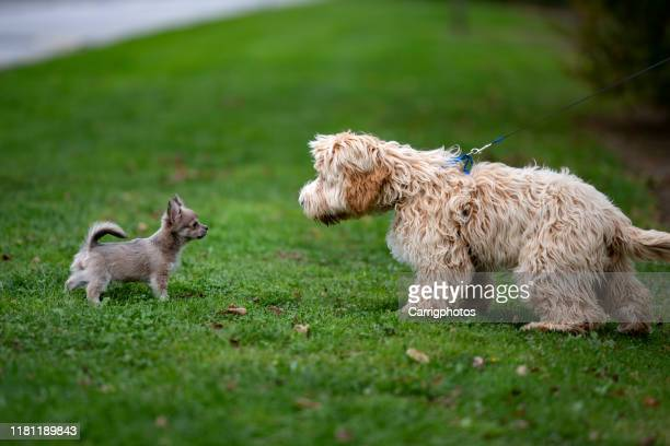two dogs checking each other out in a park, ireland - lap dog stock pictures, royalty-free photos & images