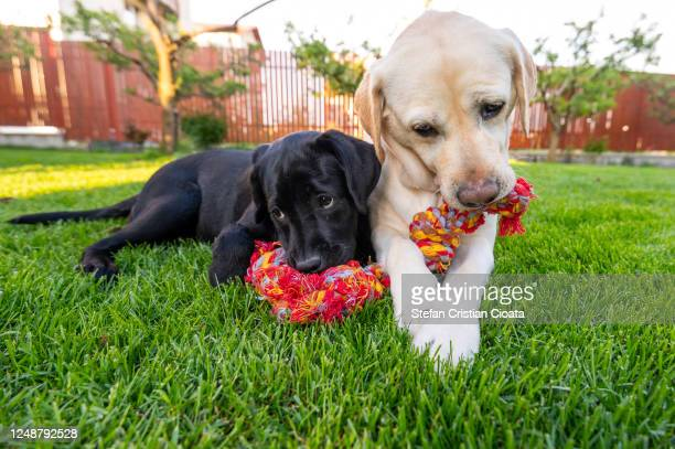 two dogs chewing a rope toy - dogs tug of war stock pictures, royalty-free photos & images