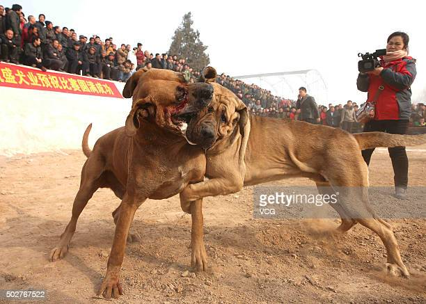 Two dogs fight against each other as they attend a dog competition for celebrating new year in Jishan County on December 28 2015 in Yuncheng Shanxi...