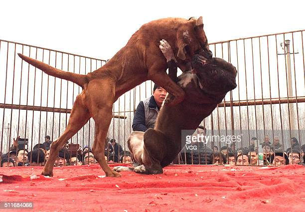 Two dogs fight during a competition at Jishan County on February 21 2016 in Yuncheng Shanxi Province of China Over 40 dogs took part in the dogs...