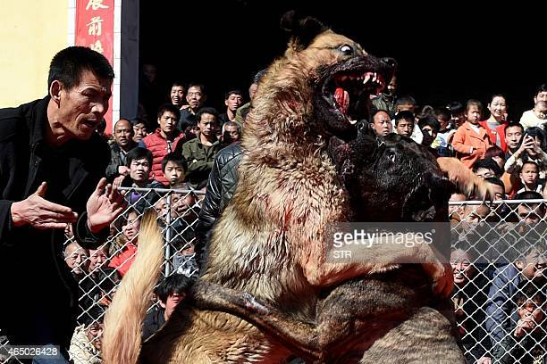 Two dogs fight during a dogfight contest in Zezhang township in Yuncheng north China's Shanxi province to mark the lantern festival on March 3 2015...