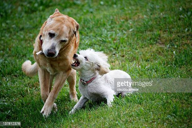 Two dogs Fighting. Color Image