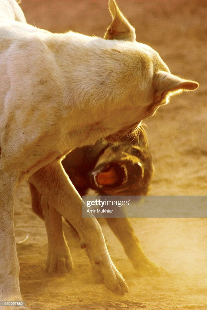 Two dogs fighting : Foto de stock