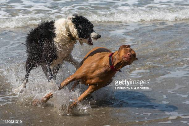 two dogs having rough play on a beach - splashing stock pictures, royalty-free photos & images