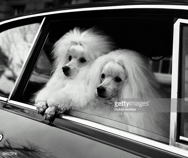 Two dogs in car looking out window (B&W)