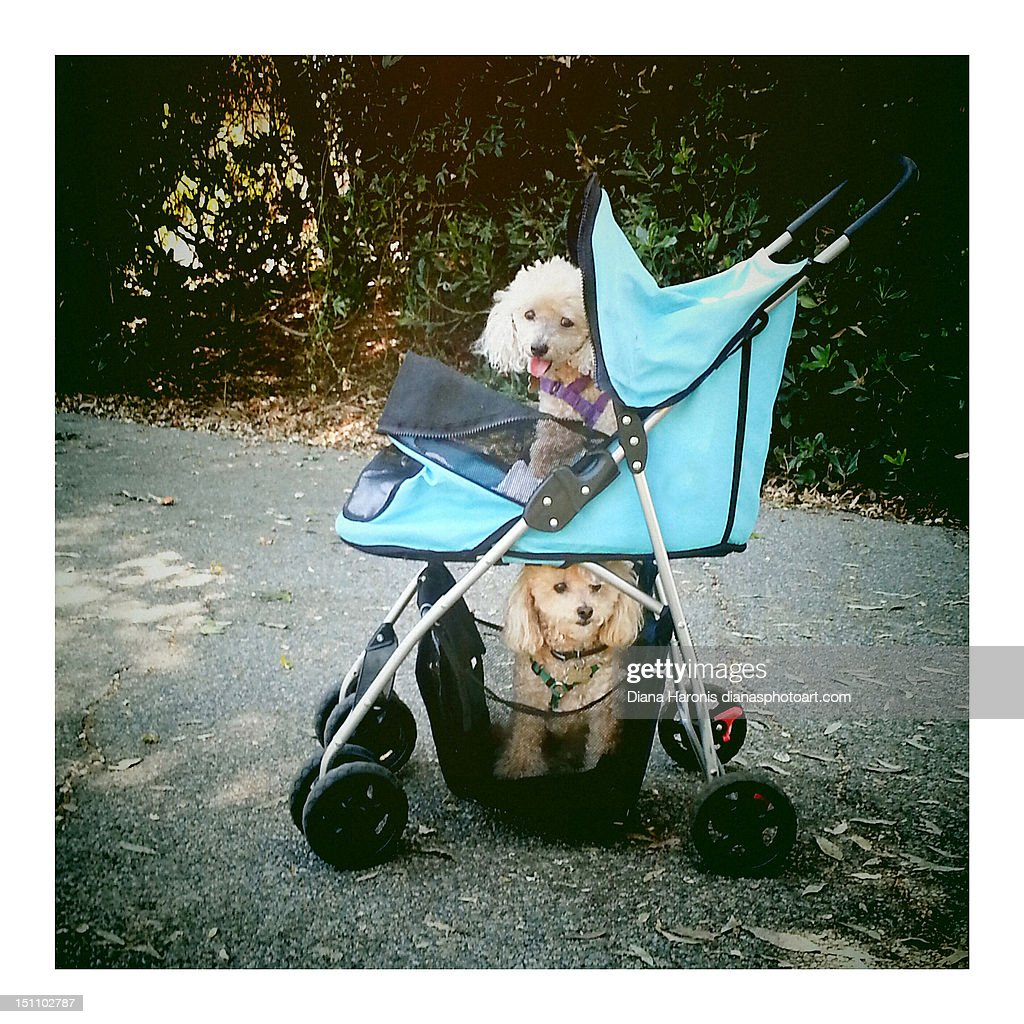 Two dogs In stroller : Stock Photo