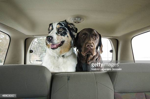 Two dogs in the car