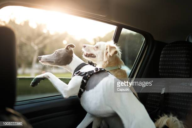 two dogs in the car window - car interior stock pictures, royalty-free photos & images