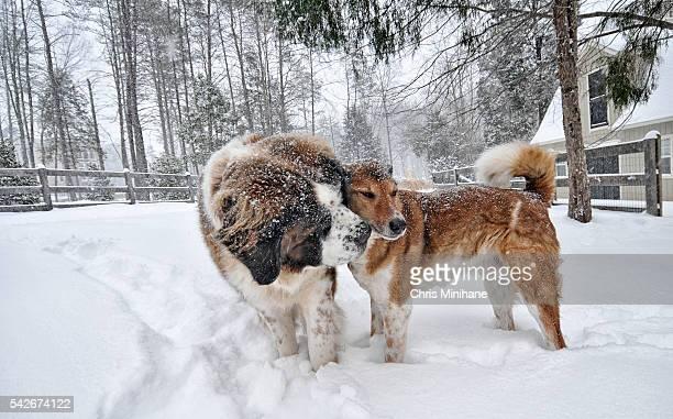 two dogs in the snow cuddling - great falls, virginia. - san bernardo fotografías e imágenes de stock