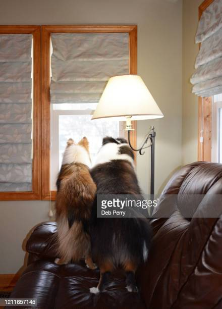 two dogs looking out the window - hairy bum stock pictures, royalty-free photos & images