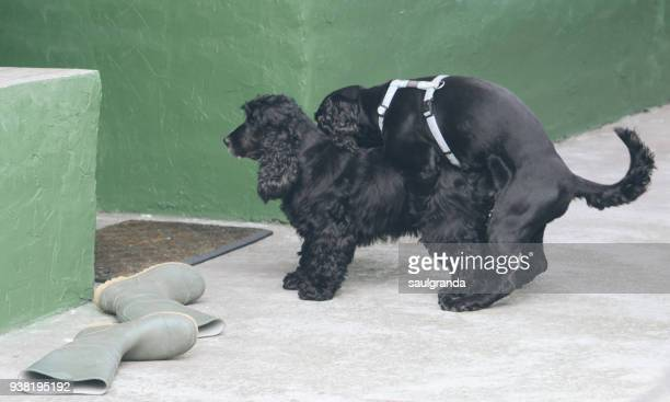 Two dogs mating