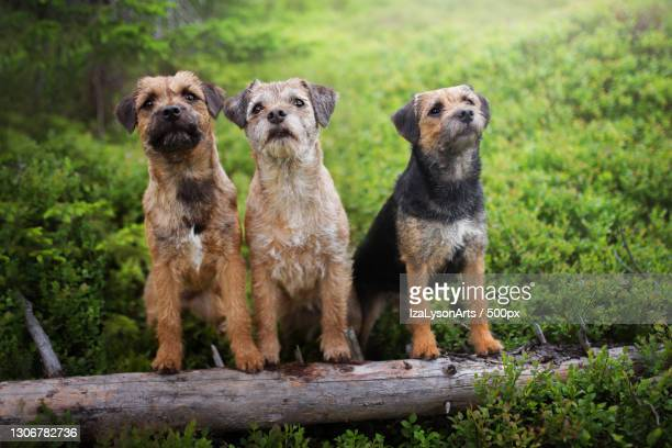 two dogs on a log - border terrier stock pictures, royalty-free photos & images