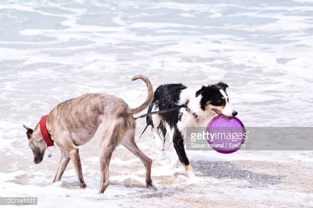 two dogs on beach - whippet stock pictures, royalty-free photos & images