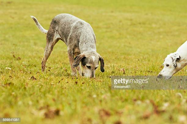 Two dogs on meadow sniffing