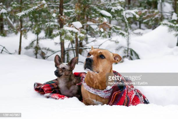 two dogs on red checkered plaid on a snow on a background winter coniferous forest. - 西シベリア ストックフォトと画像