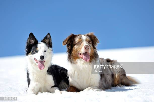 two dogs on snow - pack of dogs stock pictures, royalty-free photos & images
