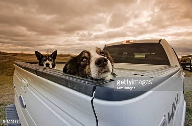Two dogs peeking over the back of a pick-up truck.