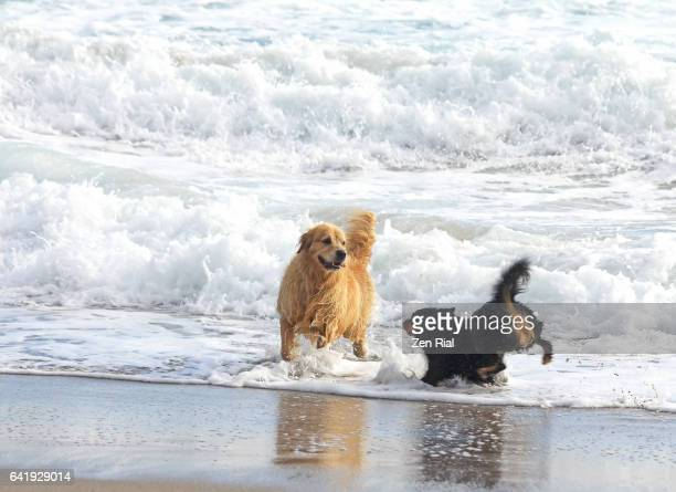 Two dogs playfully splash water and sea foam at the beach  - Golden retriever
