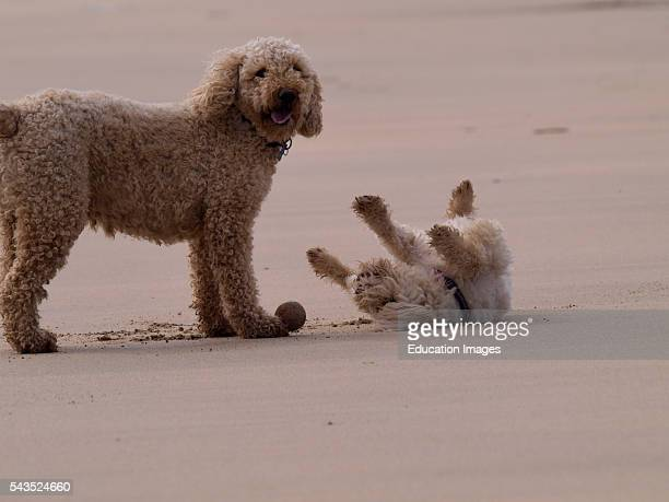 Two dogs playing at the beach UK