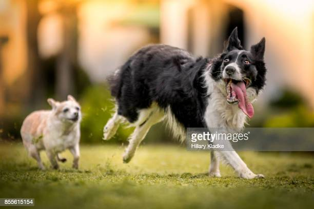 two dogs playing chase - chasing stock pictures, royalty-free photos & images
