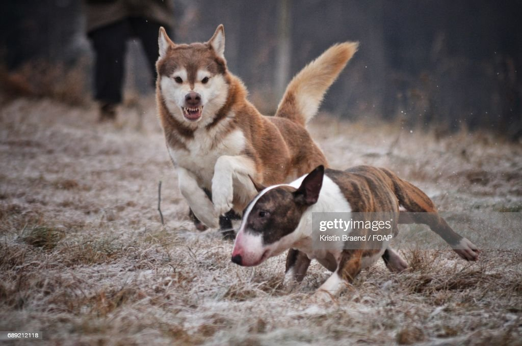 Two dogs playing grass : Stock Photo