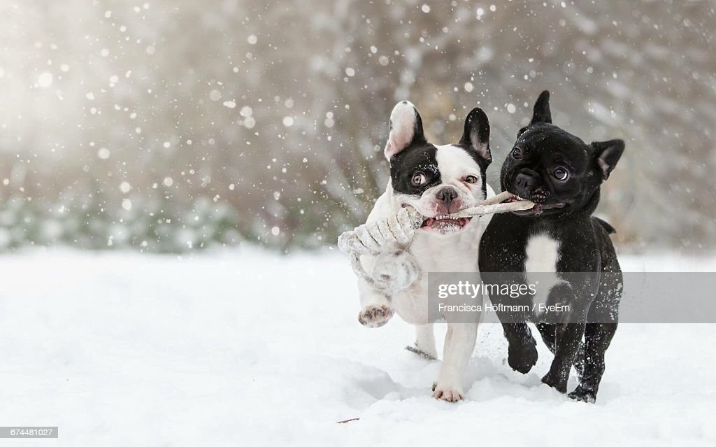 Two Dogs Playing In The Snow : Stock Photo