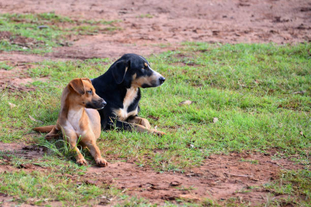 Two Dogs Playing On Grass, Assa, Brazil