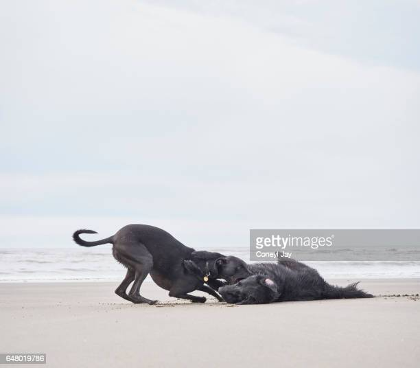 Two dogs playing on the beach at Poppit Sands in Wales.