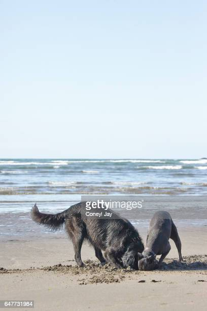 Two dogs playing on the beach, investigating together.