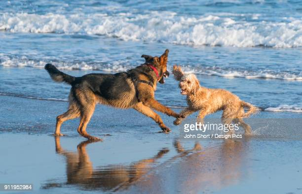 Two Dogs Playing On The Wet Sand At The Waters Edge On A Beach