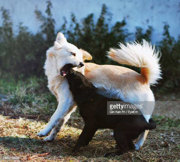 Two Dogs Playing Outdoors
