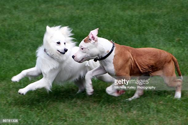 two dogs playing - bull terrier stock photos and pictures