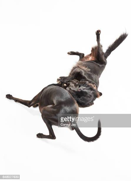 Two dogs playing together, a flat coat retriever and black whippet.