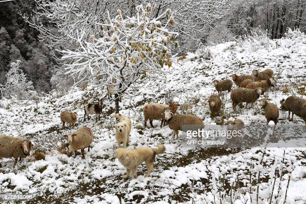 Two dogs protect sheep feeding in a field covered in the snow in Celliers Col de la Madeleine in the French Alps on November 6 2017 / AFP PHOTO /...