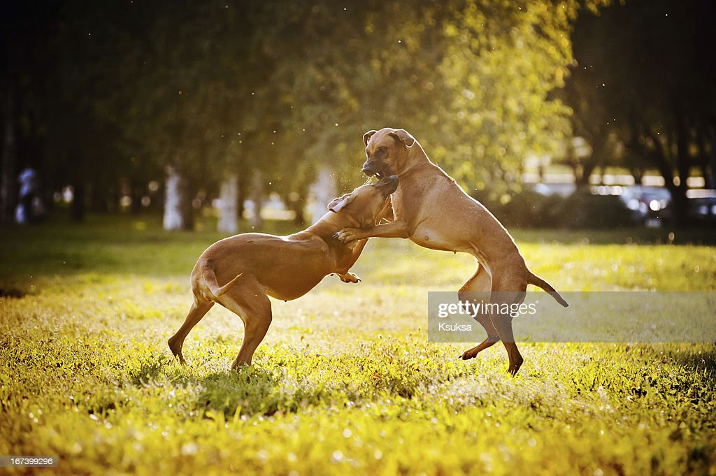 two dogs ridgeback playing : Stock Photo