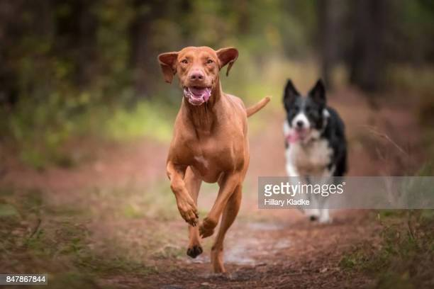 Two dogs running in forest