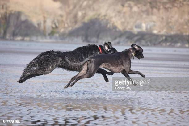 Two dogs running in harmony on the beach.