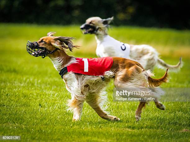 Two Dogs Running On Grassy Field