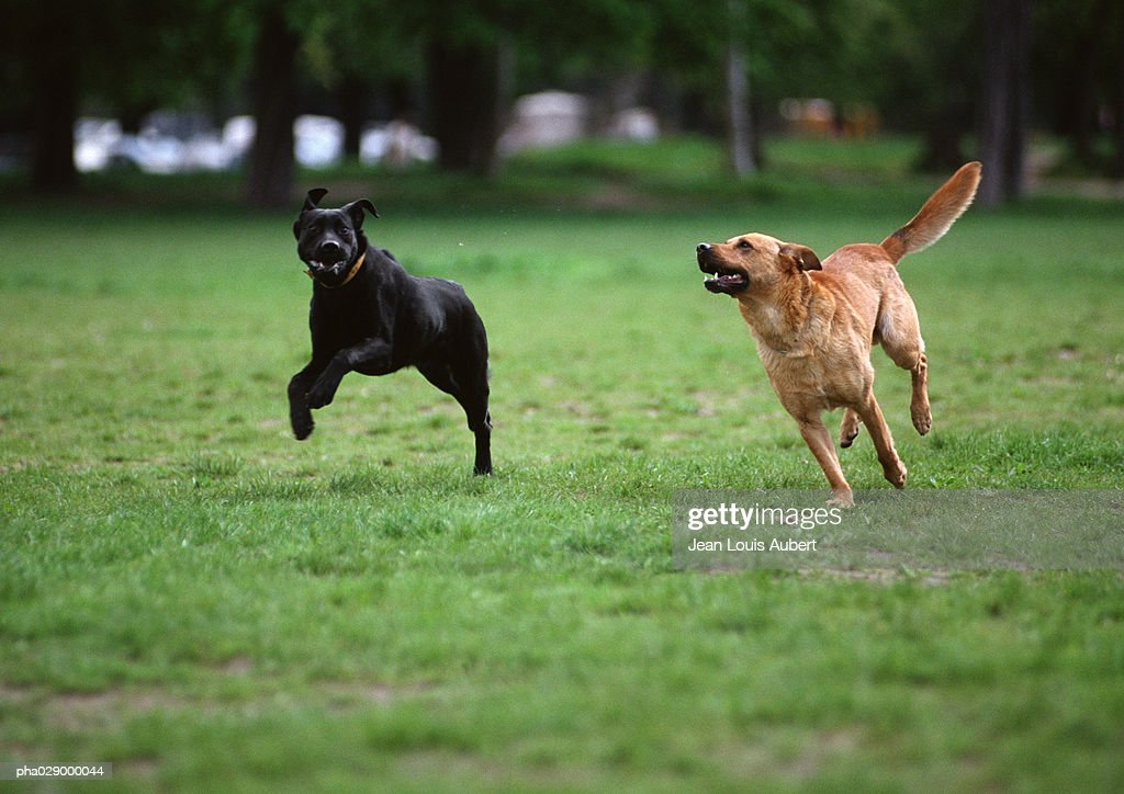 Two dogs running on grassy lawn. : Stockfoto