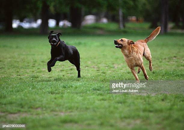 Two dogs running on grassy lawn.